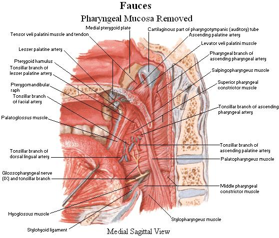 Fauces Fauces - Pharyngeal Mucosa