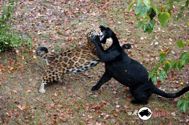 老虎杀死了大蟒蛇并吃了它
