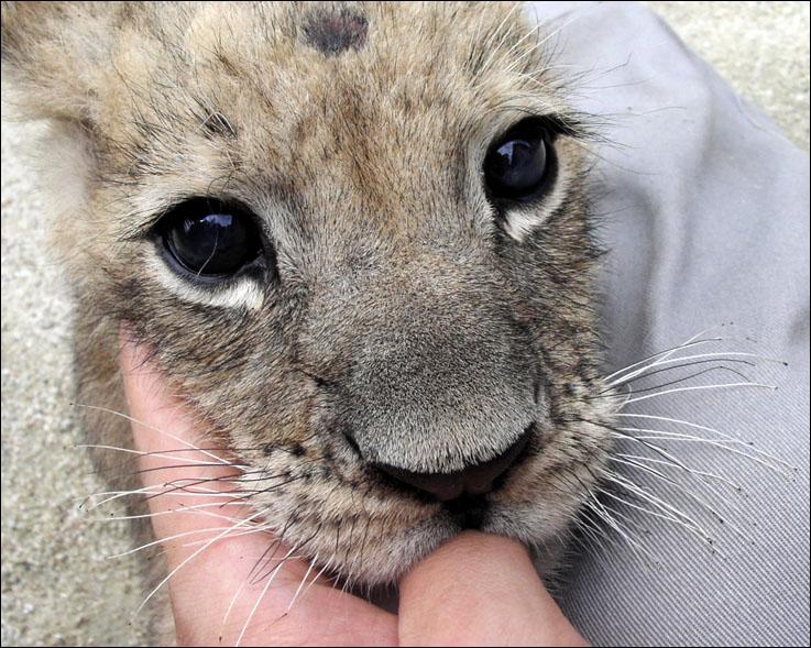 [图片 视频]可爱的小狮子